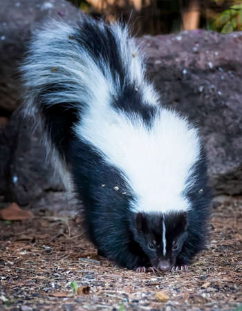 Skunk in forest with nose on ground and tail straight up low angle close up view towards camera.