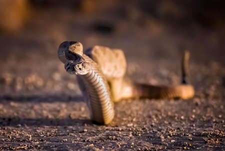 Western diamondback rattlesnake rises from dirt road looking at camera in low angle close up view.