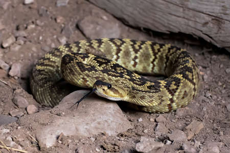 Black-tailed rattlesnake on dirt floor in Arizona coiled up with tongue extended in close up image.