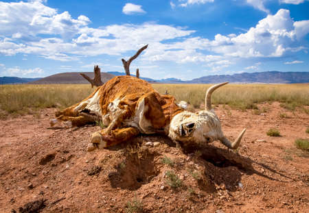 Dead cow lies on desert stump with skull beginning to show through fur in Arizona desert.