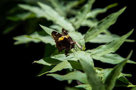 Butterfly with black and yellow wings sits on green leaves with black background.