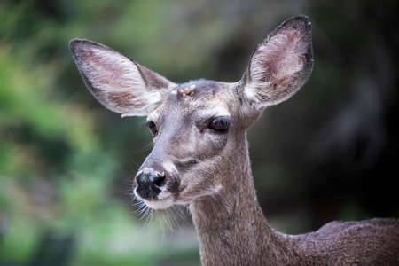 Closeup image of female mule deer with big eyes and ears on green background in Arizona.