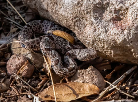Rock rattlesnake coiled up next to boulder camouflaged on forest floor.