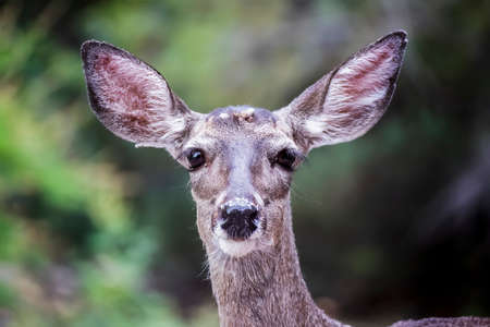 Close up face of deer doe with huge ears and a group of ticks in the middle of her forehead.