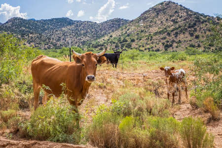 Three cows look at camera from desert landscape with mountains in background. Stock fotó