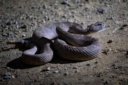 Evening photo of western diamondback rattlesnake coiled on dirt road in close up low angle profile.