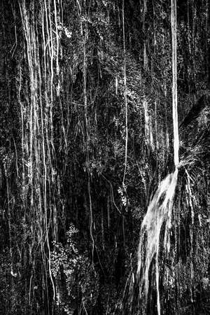 Black and white texture in jungle vines and leaves dripping and pouring water on tropical wall.