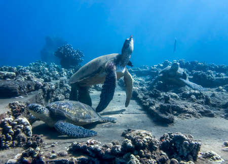 Group of Hawaiian green sea turtles gathered at cleaning station with fish and coral on reef.