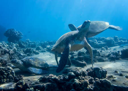 Hawaiian green sea turtles relaxing on reef cleaning station in underwater image.