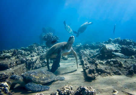 Large group of Hawaiian green sea turtles at cleaning station underwater with fish and corals.