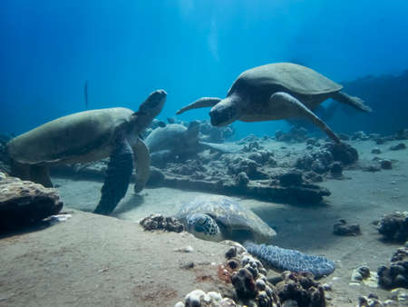 Group of Hawaiian green sea turtles gathered together on coral reef underwater with fish. Stock fotó