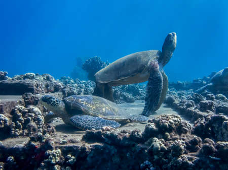 Hawaiian green sea turtles gathered on underwater coral reef in tropical ocean.