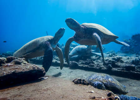 Group of sea turtles relaxing on coral reef underwater in Hawaii.