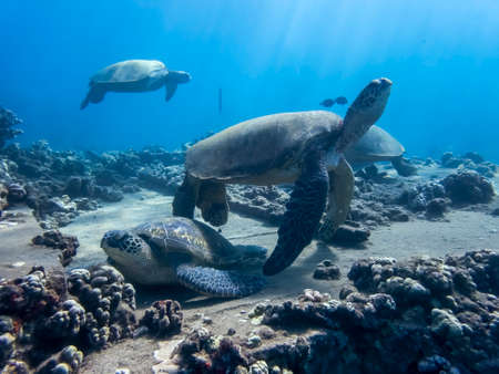 Group of sea turtles with corals and reef gathered underwater in tropics.
