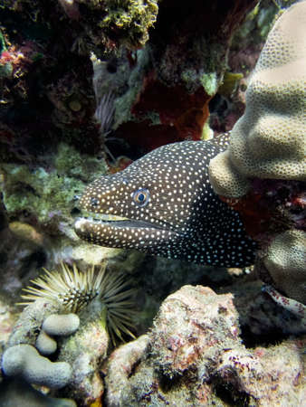 Close up profile moray eel peeking from coral reef underwater in Hawaii. Stock fotó