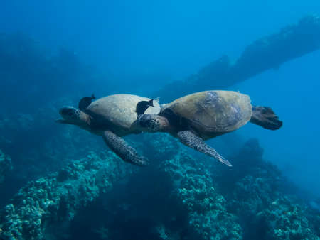 Two Hawaiian green sea turtles swim side by side over reef with matching fish cleaning their necks.