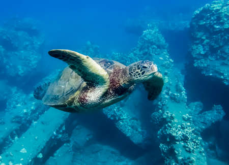 Close up underwater green sea turtle swims by camera over coral reef.