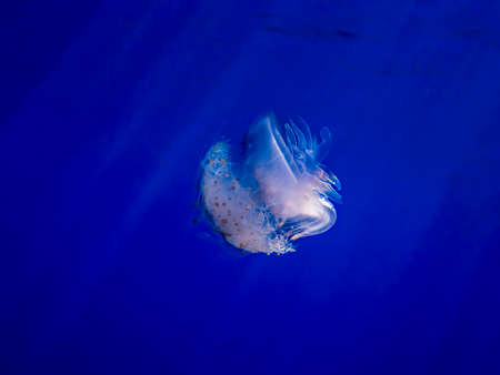 Crown jellyfish glows white in deep blue water with light rays penetrating making rainbow hues in the jellyfish.