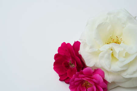 Colorful Roses on a White Background