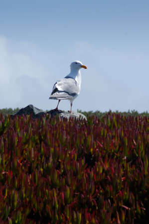 Seagull on Ice Plants Stock Photo