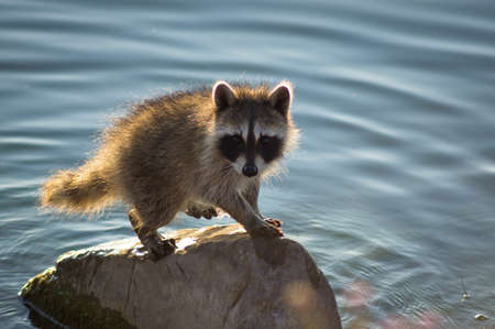 Raccoon on Rock
