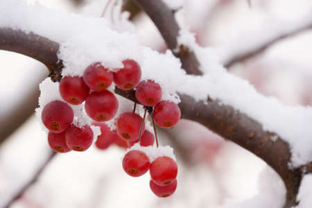Berry crabapple tree covered in snow