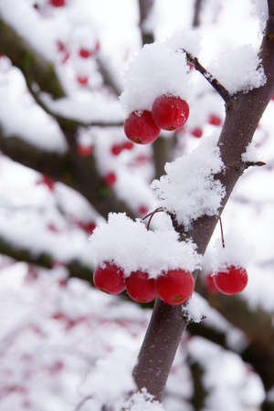 Snowy winterberry tree Stock Photo