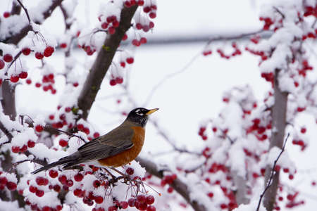 Robin in a berry tree covered in snow Stock Photo