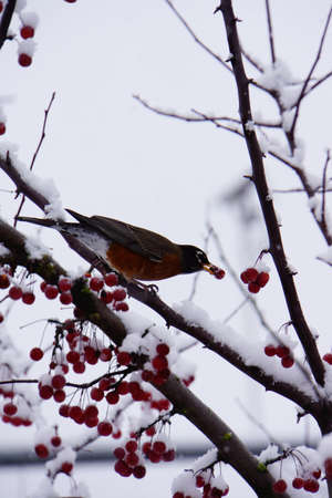 Robin eating in a berry tree covered in snow Stock Photo