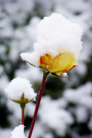 Rose covered in snow with a garden backround