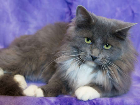 Sad grey kitty in front of purple background. Stock Photo