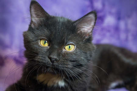 Black Persian in front of purple background Stock Photo