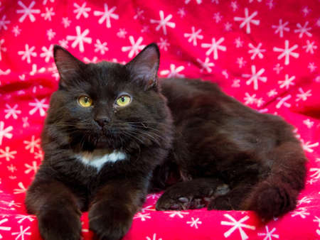 Relaxed black Persian in front of red background Stock Photo