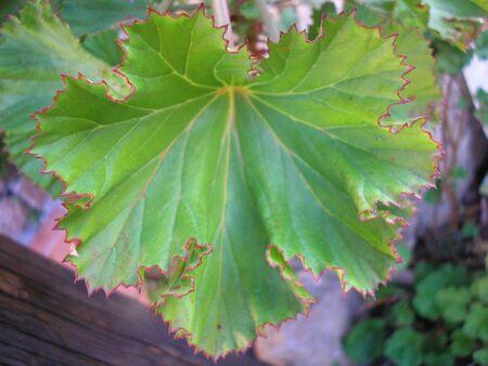 foglia: Leaf
