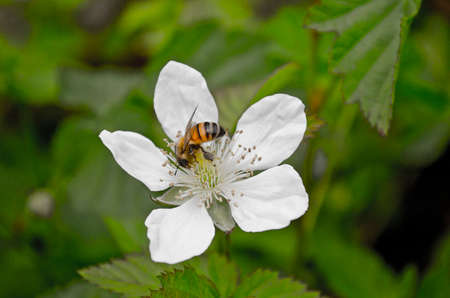 bee pollinating white flower