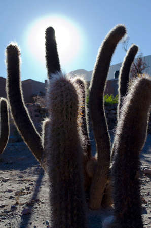 Cactus in the Quebrada de Humahuaca