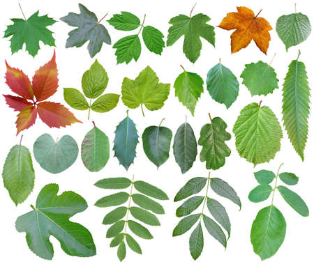 Collection of forest leaves with white background, cut out