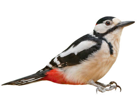Male Great Spotted Woodpecker (Dendrocopos major), isolated, with White  background Reklamní fotografie