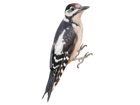 Young Great Spotted Woodpecker (Dendrocopos major), isolated on White Background Archivio Fotografico