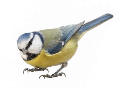 Blue Tit (Cyanistes caeruleus), Titmouse isolated on white background