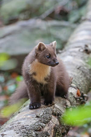 European Pine Marten (Martes martes) in the forest