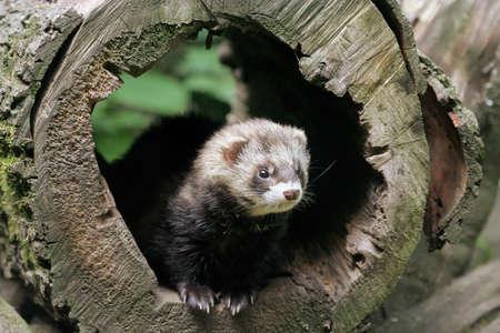 European polecat (Mustela putorius) in the den
