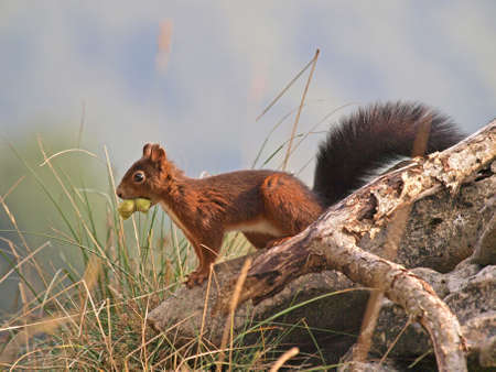 Red Squirrel (Sciurus vulgaris). Squirrel carries hazelnuts for the Autumn 写真素材