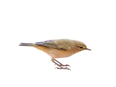 Common Chiffchaff (Phylloscopus collybita), isolated on White Background, Cut Out