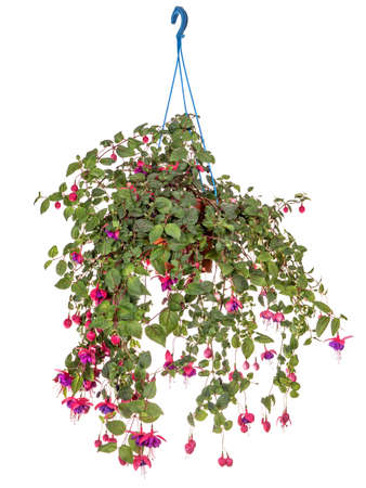 Fuchsia in a Hanging Basket. Isolated on a white background 免版税图像