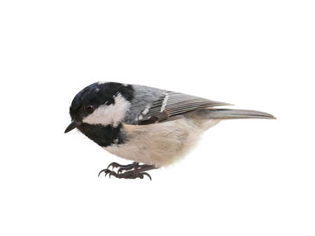 Coal tit (Periparus ater). Titmouse isolated on white background