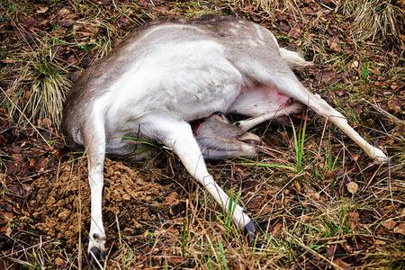 fallow deer: Fallow deer female killed in hunt