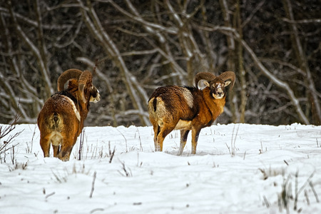 ovis: Wild european moufflons (ovis ammon) in winter field Stock Photo