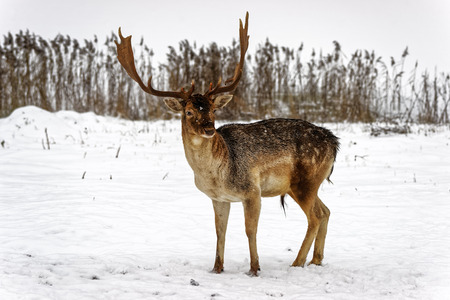 fallow deer: Fallow deer male  in winter snow field Stock Photo