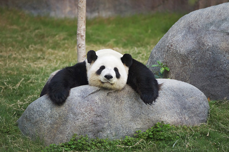 Big panda (Ailuropoda melanoleuca) sleeping on the stone